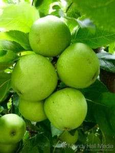 Granny Smith apples in the orchard