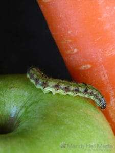 Caterpillar exploring the fruit and veges.